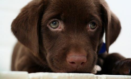 Chocolate lab puppy by buddenbohn